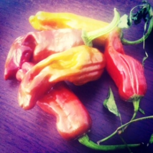 Red-chocolatey hot peppers found by Mercan Bey, the puppet spice trader, at the Truro Ag Fair 2012