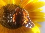 Summer 2012 1283 provincetown summer sunflower monarch butterfly