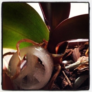 Esma the hippie puppet, known in part for her green thumb when it comes to orchids, insists that the best way to water orchids is with peace-shaped ice cubes placed on top of their mossy blankets for slow melting nourishment. (Image by Liz Cameron)