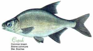 Here is a çapak - or a common bream fish